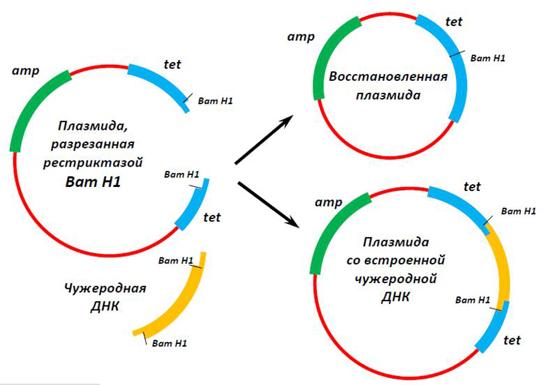 Плазміда.jpg 2